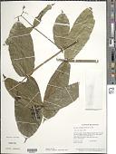 view Faramea sessilifolia (Kunth) DC. digital asset number 1