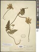 view Caiophora canarinoides (Lenné & K. Koch) Urb. & Gilg digital asset number 1