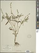 view Salvia lanceolata Brouss. digital asset number 1
