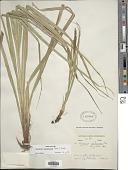 view Carex phleoides subsp. koyamae (Gómez-Laur.) Jim.-Mejías digital asset number 1