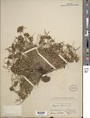view Cyperus fuscus digital asset number 1