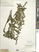 view Solidago roanensis var. monticola (Torr. & A. Gray) Fernald digital asset number 1