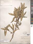 view Quercus canbyi Trel. digital asset number 1