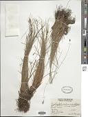 view Fimbristylis schoenoides (Retz.) Vahl digital asset number 1