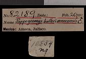 view Pappogeomys bulleri amecensis Goldman, 1939 digital asset number 1