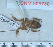 view Eleutherodactylus dolomedes digital asset number 1