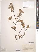 view Aronia arbutifolia (L.) Pers. digital asset number 1