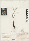 view Scirpus sulcatus var. distigmatosus C.B. Clarke in Cheeseman digital asset number 1