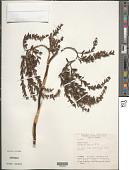 view Brocchinia vestita L.B. Sm. digital asset number 1