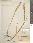 view Leymus mollis (Trin.) Pilg. subsp. mollis digital asset number 1
