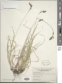 view Carex atratiformis Britton digital asset number 1