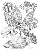 view Gasteranthus bilsaensis L.E. Skog & L.P. Kvist digital asset number 1