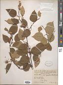 view Betula papyrifera Marshall digital asset number 1