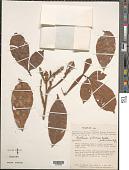 view Paullinia olivacea Radlk. digital asset number 1
