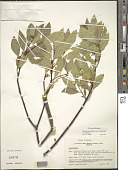 view Wikstroemia oahuensis var. oahuensis (A. Gray) Rock digital asset number 1
