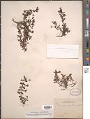 view Mecardonia procumbens (Mill.) Small digital asset number 1