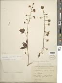 view Mimosa albida var. glabrior B.L. Rob. digital asset number 1