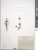 view Ranunculus sulphureus Sol. digital asset number 1