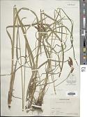 view Carex mertensii J.D. Prescott ex Bong. digital asset number 1