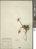 view Orlaya anisopoda Boiss. digital asset number 1
