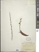 view Hugonia acuminata Engl. digital asset number 1