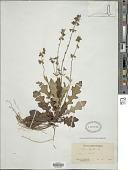 view Salvia lyrata L. digital asset number 1