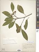 view Aspidosperma parvifolium digital asset number 1