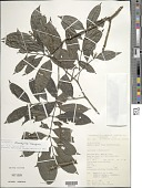view Palicourea oblonga (DC.) Delprete & J.H. Kirkbr. digital asset number 1