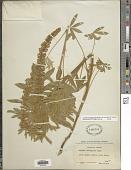 view Lupinus leucophyllus var. belliae C.P. Sm. digital asset number 1