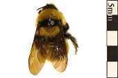 view Yellow Bumble Bee digital asset number 1