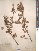 view Amelanchier alnifolia (Nutt.) Nutt. ex M. Roem. digital asset number 1