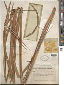view Tripsacum lanceolatum Rupr. ex E. Fourn. digital asset number 1