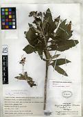 view Rhytidophyllum acunae C.V. Morton digital asset number 1
