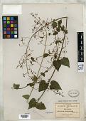 view Salvia chalarothyrsa Fernald digital asset number 1
