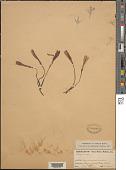 view Zephyranthes sp. digital asset number 1