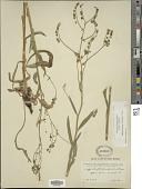 view Hackelia micrantha digital asset number 1