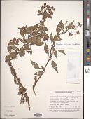 view Calceolaria boliviana digital asset number 1