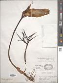 view Amorphophallus napalensis (Wall.) Bogner & Mayo digital asset number 1