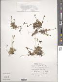 view Saxifraga magellanica Poir. digital asset number 1