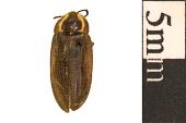 view Firefly, Lightning Bug, Glowworm digital asset number 1