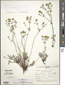 view Eriogonum umbellatum var. subaridum S. Stokes digital asset number 1