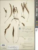 view Melpomene flabelliformis (Poir.) A.R. Sm. & R.C. Moran digital asset number 1