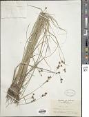 view Rhynchospora chinensis Nees & Meyen digital asset number 1