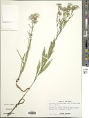 view Symphyotrichum laeve (L.) Á. Löve & D. Löve digital asset number 1