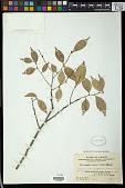 view Microdesmis casearifolia Planch. & Hook. digital asset number 1