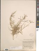 view Cynodon affinis Caro & E.A. Sánchez digital asset number 1
