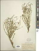 view Baccharis wrightii A. Gray digital asset number 1