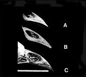 view Ciridops tenax James & Olson, 1991 digital asset number 1