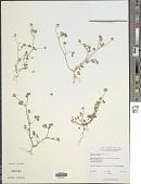 view Trifolium microdon Hook. & Arn. digital asset number 1