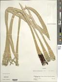 view Espeletia semiglobulata Cuatrec. digital asset number 1